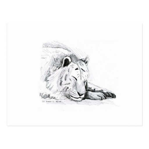 Sleeping White Tiger head and paws Pencil Drawing Post Cards