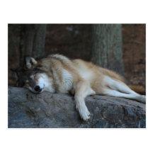 Sleeping Wolf of Northern Minnesota Postcard