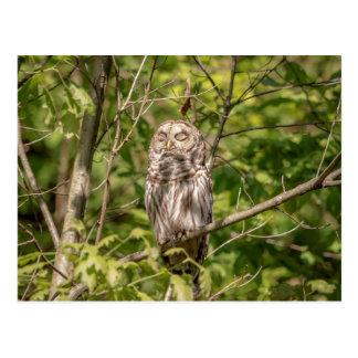 Sleepy Barred Owl Postcard