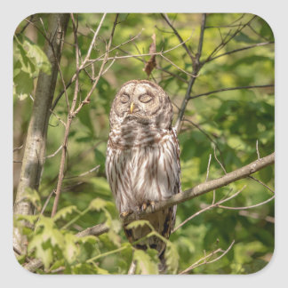 Sleepy Barred Owl Square Sticker