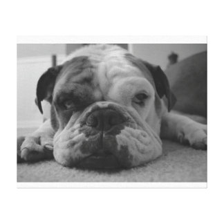 Sleepy Bulldog Picture Stretched Canvas Print