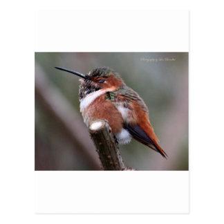 Sleepy Hummingbird Postcards