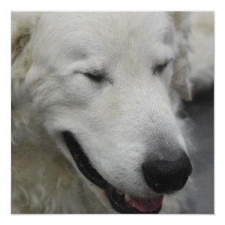 "Sleepy Kuvasz Dog 5.25"" Square Invitation Card"