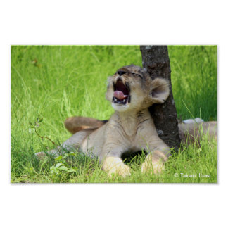 sleepy lion cub (baby of lion) poster
