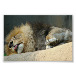 "Sleepy lion sticking out the tongue 6X4"" Poster"