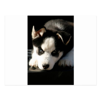 Sleepy Lop Eared Siberian Husky Puppy Postcard