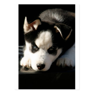 Sleepy Lop Eared Siberian Husky Puppy Postcard
