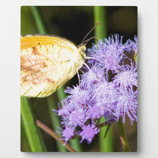 Sleepy Orange Butterfly on Ageratum Wildflowers Plaque