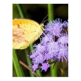 Sleepy Orange Butterfly on Ageratum Wildflowers Postcard