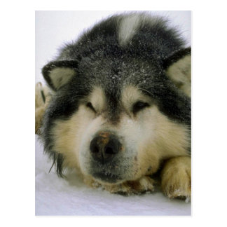 Sleepy sled dog postcard