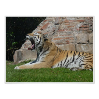 Sleepy Tiger Poster