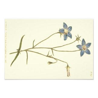Slender Bellflower Blue Illustration Photo Print