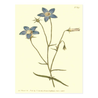 Slender Bellflower Blue Illustration Postcard