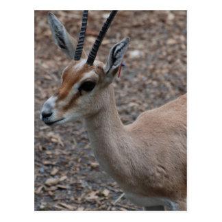 Slender Horned Gazelle  Postcard