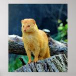 Slender Mongoose Galerella Sanguinea Posters