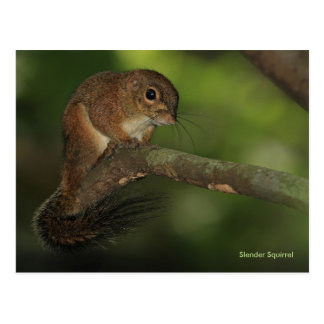 Slender Squirrel Postcard