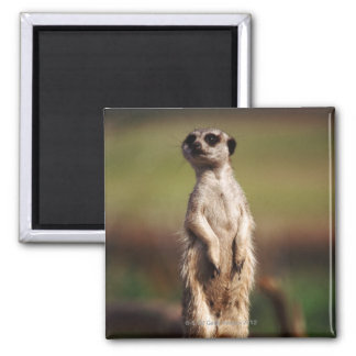 slender-tailed meerkat 2 inch square magnet