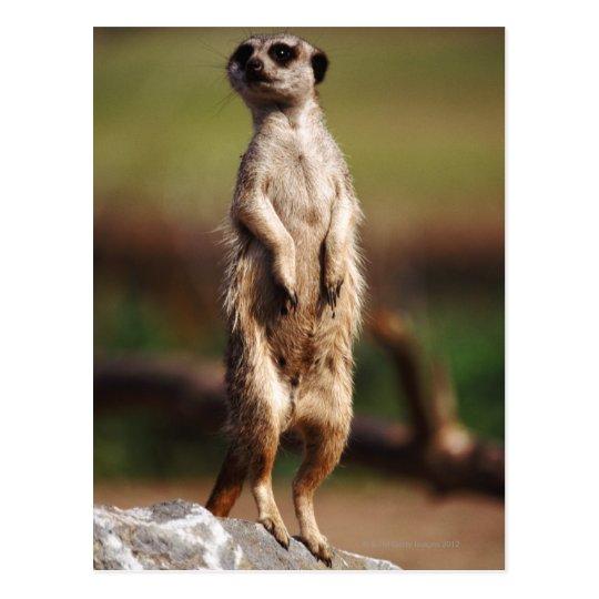 slender-tailed meerkat postcard