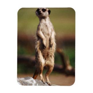 slender-tailed meerkat rectangular photo magnet