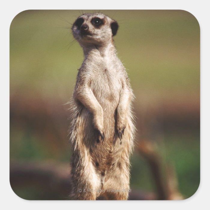 slender-tailed meerkat square sticker
