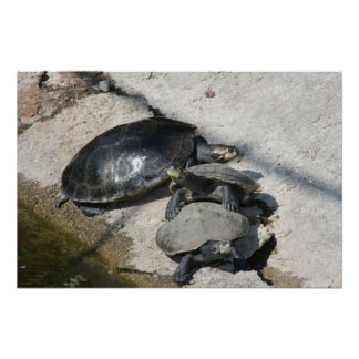 Slider turtles in a row photo poster