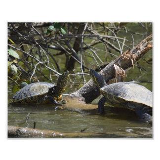 Slider Turtles Photo Print