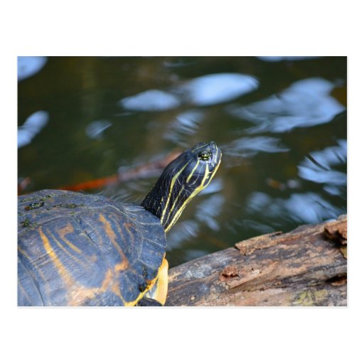 Turtle sticking head out of water
