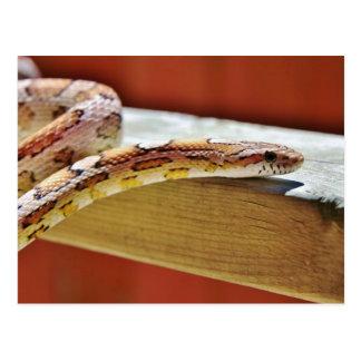 Slithering Red Corn Snake Postcard