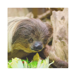 Sloth_20171107_by_JAMFoto Metal Print