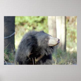 Sloth Bear Photo Poster