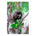 Sloth in tree Nicaragua Post Cards
