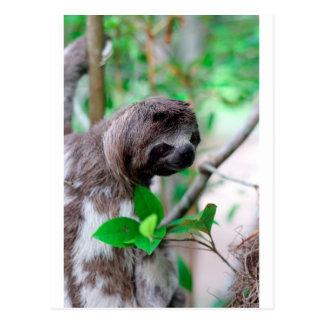 Sloth in tree Nicaragua Postcard