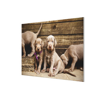 Slovakian Rough Haired Pointer Puppies Canvas Print