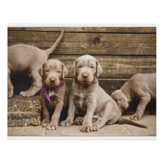 Slovakian Rough Haired Pointer Puppies Panel Wall Art