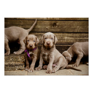 Slovakian Rough Haired Pointer Puppies Poster
