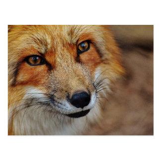 Sly Fox Postcard