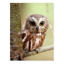 Small Baby Owl (Ontarios) Postcard