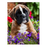 small boxer puppy/little boxers puppy post cards