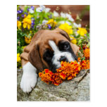 small boxer puppy/little boxers puppy postcards