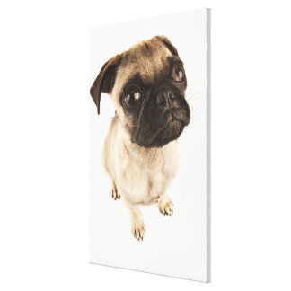 Small breed of dog with short muzzled face. canvas print