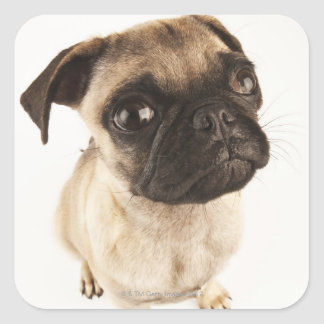 Small breed of dog with short muzzled face square sticker