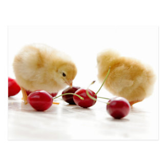 Small chickens and blows cherries postcard