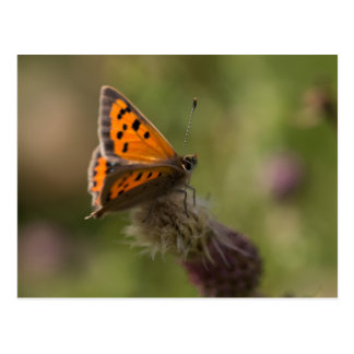 Small Copper Butterfly Postcard