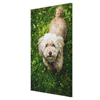 Small dog looking up at camera stretched canvas prints