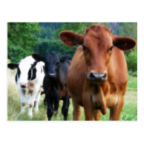 Small Herd of Three Cows Postcard