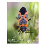 Small Milkweed Bug Post Cards