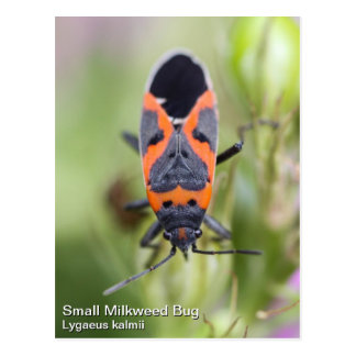 Small Milkweed Bug Postcard