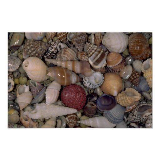 Small shells Shell Poster