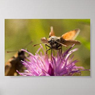 Small Skipper Butterflies Poster