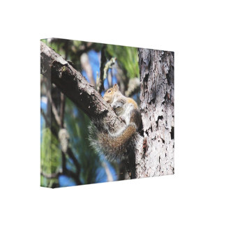 Small Squirrel in Pine Tree Fork Sunning Gallery Wrap Canvas